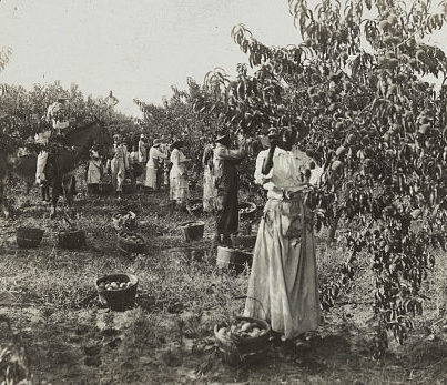 Black and white image of men and women picking peaches.