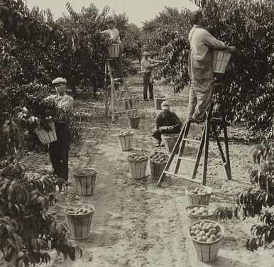 Black and white image of men picking peaches.